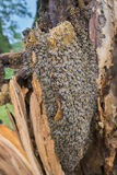 Bees apis mellifera living in tree, the tree was broken during a storm Stock Photos