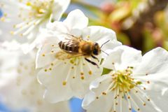Bee on tree flowers. Bee tree flowers spring white green blur  sky blue stock images