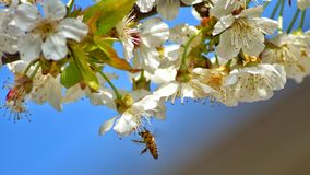Bee on tree flowers. Bee tree flowers spring white green blur  sky blue royalty free stock image