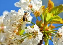 Bee on tree flowers. Bee tree flowers spring white green blur  sky blue royalty free stock photos