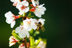 Bee on an a tree. Bee gathering pollen on a tree Stock Images