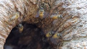 Bee on tree hole in tropical rain forest. Animal backgrounds stock video