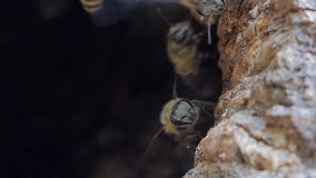 Bee on tree hole in tropical rain forest. Animal backgrounds stock video footage