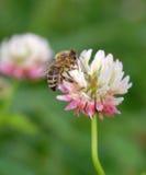 Bee on trefoil flower. One bee on trefoil flower macro Stock Photos