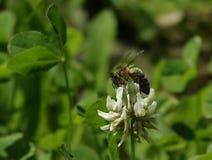 Bee on trifolium flower. Stock Photo