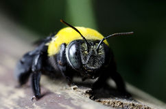 Bee, Tropical carpenter bee Royalty Free Stock Images