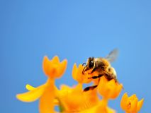 Bee on tropical milkweed Stock Images