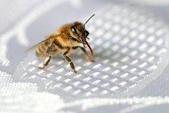 Bee the trunk cleaning. A honey bee cleaning its trunk on a white tablecloth Stock Images