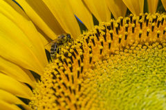 Bee trying to find the best pollen on the head of sunflower, macro Stock Photos