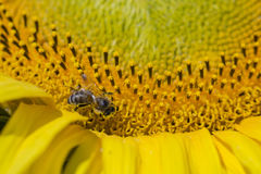 Bee trying to find the best pollen on the head of sunflower, macro Stock Images