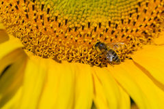Bee trying to find the best pollen on the head of sunflower, Ukraine. C Royalty Free Stock Image