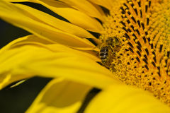 Bee trying to find the best pollen on the head of sunflower, Ukraine. C Stock Images
