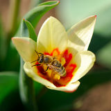 Bee and tulip flower Royalty Free Stock Images