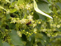 Bee on a twig of blossoming lime tree. Detail stock photography
