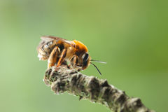 Bee on twig Stock Images