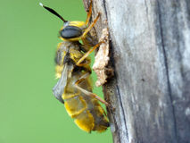 Bee with underdeveloped wings Royalty Free Stock Photos