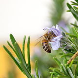 Bee. Useful insect for pollination and honey production Stock Image