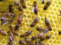Bee uterus. There are bees and hostess of bee family is an uterus on new honeycombs. It always is in surroundings bees - maid. During days an uterus lays to 1000 Stock Photo