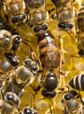 A bee uterus is the hostess of family. A bee uterus always is in surroundings the group of bees Stock Images