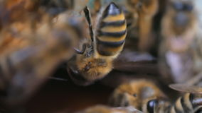 The bee is ventilating. Close-up stock video