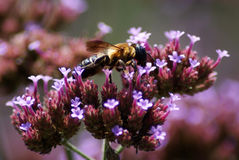 Bee on Verbena Royalty Free Stock Photography
