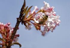 Bee on the viburnum Royalty Free Stock Photos