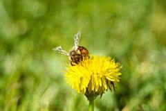 Bee& x27; vida de s Imagens de Stock Royalty Free