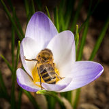 Bee at violet crocus Stock Photo