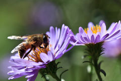 Bee on a violet flower Stock Images