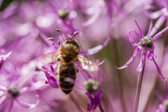Bee on the violet flower with copyspace. Bee on the violet flower. with copyspace Stock Photos
