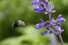 Bee and violet flower Stock Image