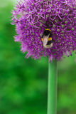 Bee on violet flower. Bee is pollinating the alluim flower Royalty Free Stock Image