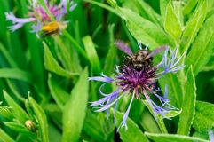 Bee on the violet flower. At the summer garden Royalty Free Stock Photos