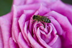 Bee and violet rose. Purple rose and bee at the spring Royalty Free Stock Image