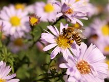 Bee visiting blue flower Royalty Free Stock Photography