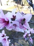 Bee visiting pink flower royalty free stock photo