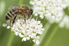 A bee on a white flower stock images