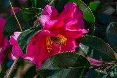 A bee visits a rose of winter, or Camellia, flower royalty free stock image