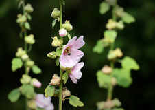 A Bee visits a Hollyhock Flower stock photography
