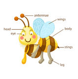 Bee vocabulary part of body  Royalty Free Stock Photo