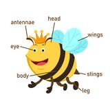 Bee vocabulary part of body.vector stock illustration