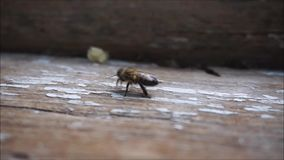 Bee walking around. Bee walking on old wooden window base stock footage
