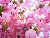 Buzz, I`m to busy to pollinate all beautiful this pink flower. The bee was pollinating among the beautiful blossom pink crape myrtle flower royalty free stock photo