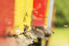 The bee was sipping the nectar and returning to beehive. Bees co Royalty Free Stock Photos