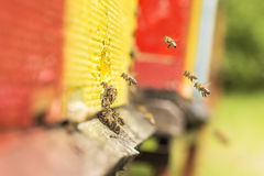 The bee was sipping the nectar and returning to beehive. Bees co Royalty Free Stock Photo