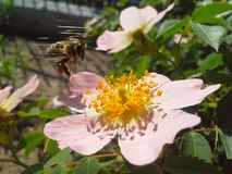 Bee and wild rose. Bee was sitting on the flower, but suddenly flew from it in the moment of shooting photo royalty free stock photo