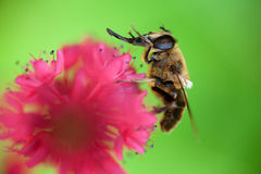 Bee washing itself Stock Images