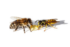 Bee and wasp. Eat honey Stock Images
