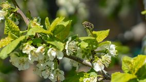 A bee or a wasp flies near a flower tree. Insect pollinates cherry and apple flowers stock images
