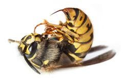 Bee or wasp macro. Dead stinging bee or wasp wing animal insect macro Stock Images